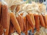 La Vecchia Europa e gli OGM
